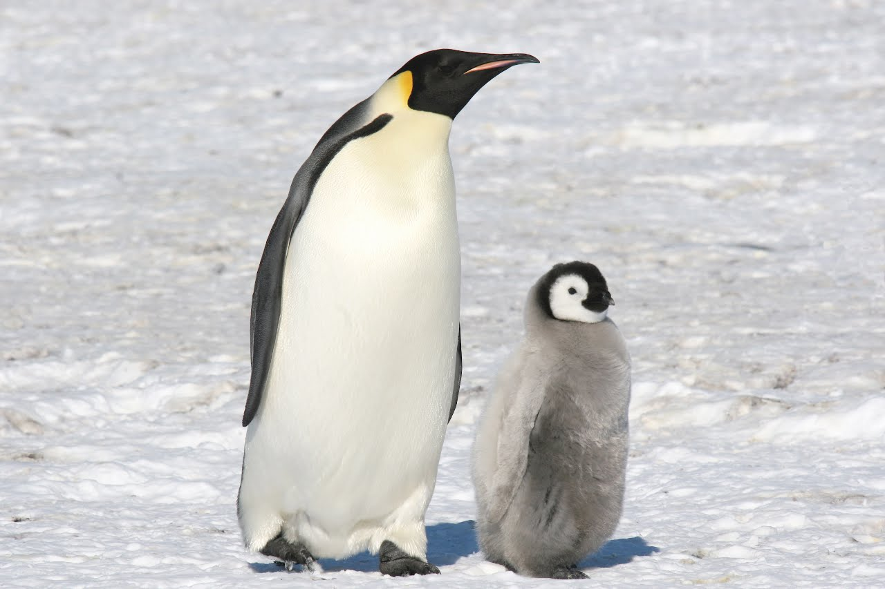 the characteristics and habitats of the penguin species Penguin: penguin, any of 18 species of flightless marine birds of the southern hemisphere the habitats of five other polar species—king, chinstrap.